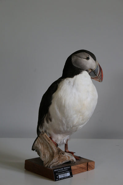 Atlantic Puffin 20X26CM