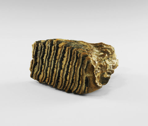 Woolly Mammoth Tooth Museum Quality Specimen - Natural History Direct Online Shop