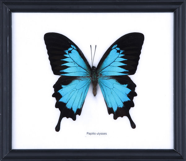 The Blue Swallowtail Butterfly - Real Butterfly Framed - Natural History Direct Online Shop - 1