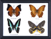 Four Taxidermy Butterflies - Real Butterfly Framed Wide - Natural History Direct Online Shop - 2
