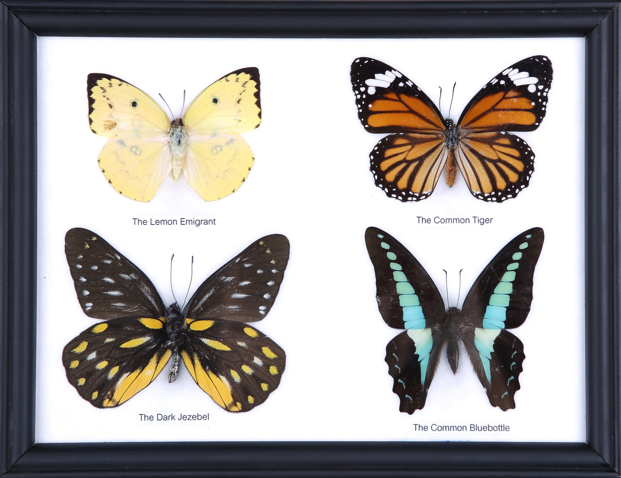 FRAMED REAL LEMON AND MAPIE CROW BUTTERFLY DISPLAY INSECT TAXIDERMY