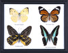 Four Taxidermy Butterflies - Real Butterfly Framed Wide - Natural History Direct Online Shop - 3