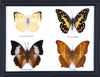 Four Taxidermy Butterflies - Real Butterfly Framed Wide - Natural History Direct Online Shop - 4