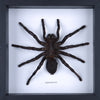 Real Giant Bird Eating Tarantula Mounted in a choice of frames - Natural History Direct Online Shop - 3
