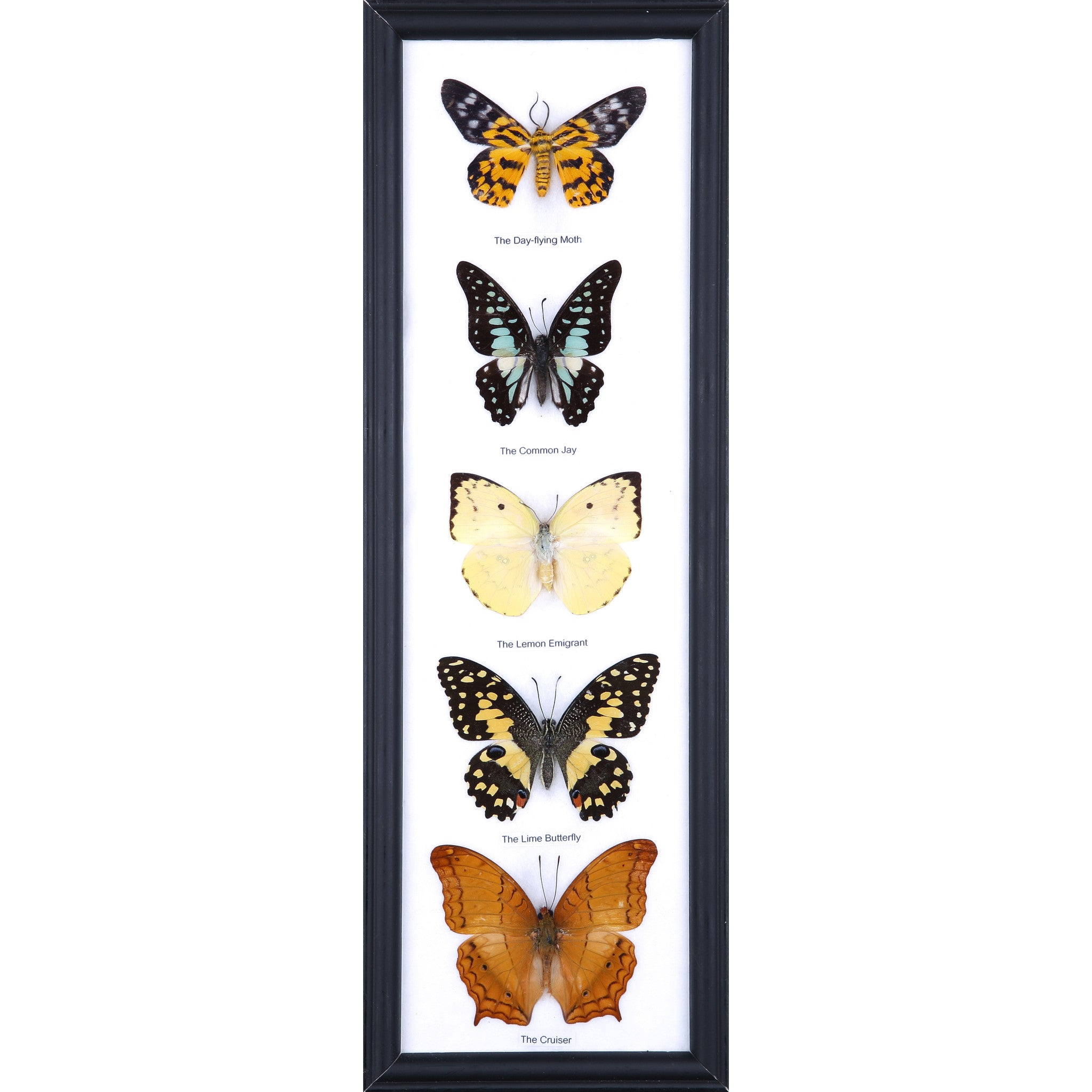 Five Taxidermy Butterflies - Real Butterfly Framed Tall – Natural ...