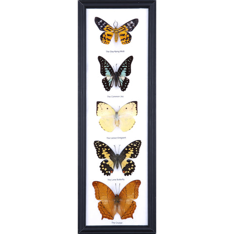Five Taxidermy Butterflies - Real Butterfly Framed Tall - Natural History Direct Online Shop - 1