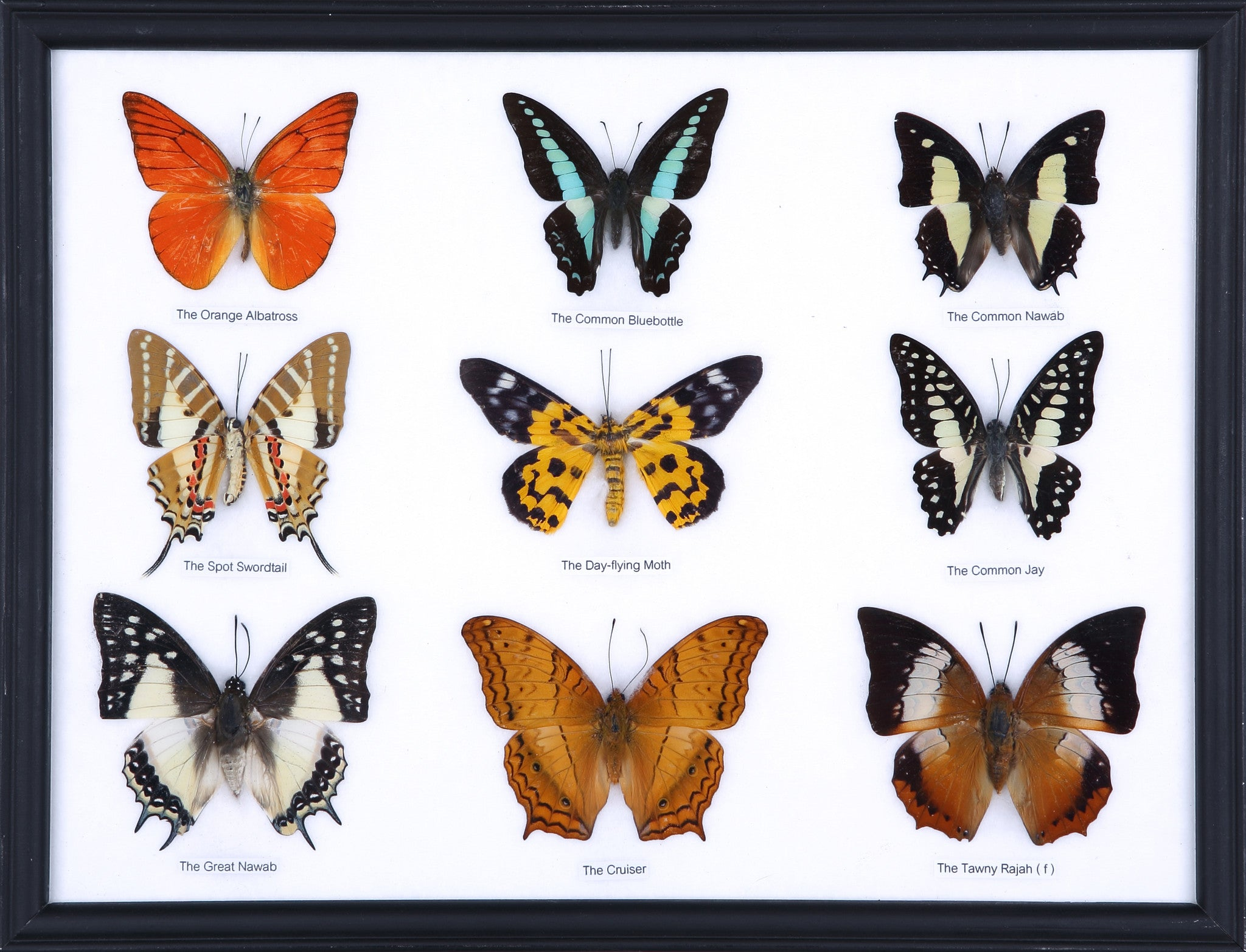 Nine Taxidermy Butterflies - Real Butterfly Framed Wide – Natural ...