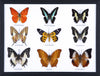 Nine Taxidermy Butterflies - Real Butterfly Framed Wide - Natural History Direct Online Shop - 1
