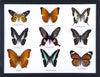 Nine Taxidermy Butterflies - Real Butterfly Framed Wide - Natural History Direct Online Shop - 2