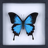 The Blue Swallowtail Butterfly - Framed Butterfly - See Through Glass Frame - Natural History Direct Online Shop - 3