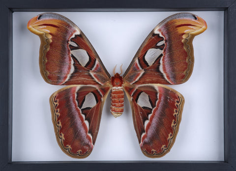 Real Dried Giant Atlas Moth (Attacus atlas) Glass Frame - Natural History Direct Online Shop - 1