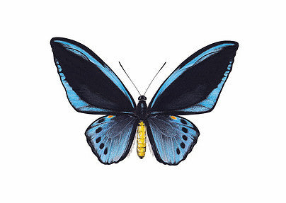 Ornithoptera priamus - blue - Natural History Direct Online Shop