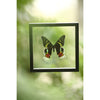 The Madagascan Sunset Moth - Framed Day Moth - See Through Glass Frame - Natural History Direct Online Shop - 4