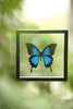 The Blue Swallowtail Butterfly - Framed Butterfly - See Through Glass Frame - Natural History Direct Online Shop - 4