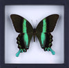 The Green Swallowtail Butterfly - Framed Butterfly - See Through Glass Frame - Natural History Direct Online Shop - 3