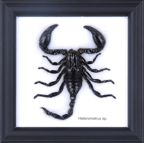 The Thai Scorpion - Real Scorpion Framed - Natural History Direct Online Shop - 1