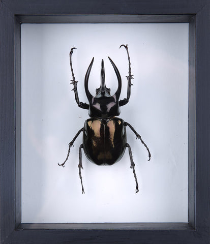 The Atlas Beetle (Chalcosoma atlas) Framed Beetle - Natural History Direct Online Shop - 2