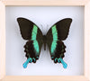 The Green Swallowtail Butterfly - Framed Butterfly - See Through Glass Frame - Natural History Direct Online Shop - 2