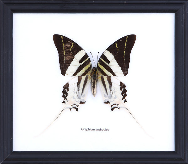 The Giant Swordtail Butterfly - Real Butterfly Framed - Natural History Direct Online Shop
