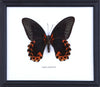 The Scarlet Mormon - Real Butterfly Framed - Natural History Direct Online Shop