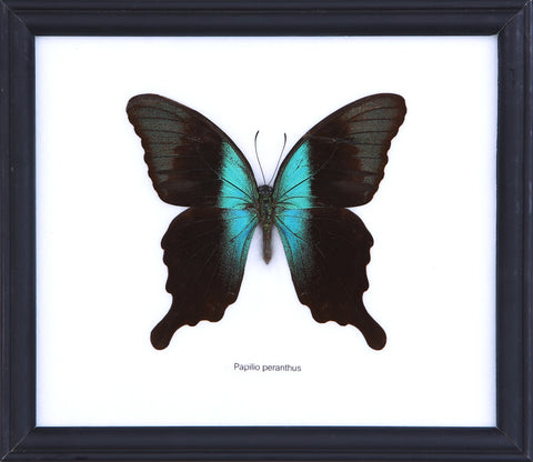 The Blue Peranthus Swallowtail - Real Butterfly Framed - Natural History Direct Online Shop