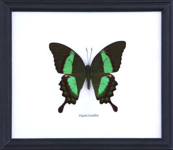 The Peacock Banded Butterfly - Real Butterfly Framed - Natural History Direct Online Shop
