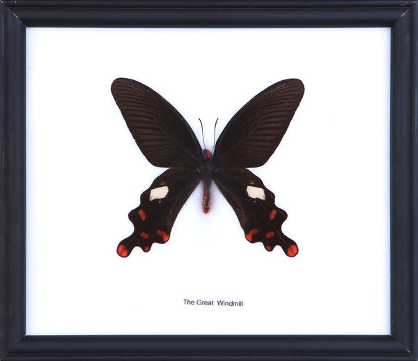The Great Windmill Butterfly - Real Butterfly Framed - Natural History Direct Online Shop