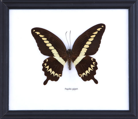 The Sulawesi Swallowtail Butterfly - Real Butterfly Framed - Natural History Direct Online Shop
