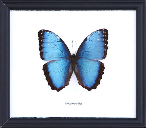 The Achilles Morpho - Real Butterfly Framed - Natural History Direct Online Shop