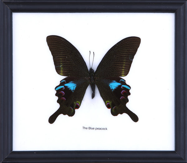 The Indian Peacock Swallowtail Butterfly - Real Butterfly Framed - Natural History Direct Online Shop