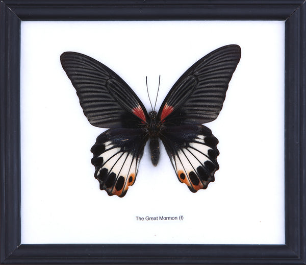 The Great Mormon Butterfly - Real Butterfly Framed - Natural History Direct Online Shop