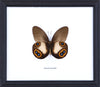 The Silky Owl Butterfly - Real Butterfly Framed - Natural History Direct Online Shop