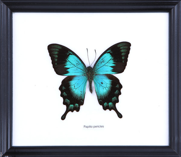 The Turquoise Swallowtail - Real Butterfly Framed - Natural History Direct Online Shop