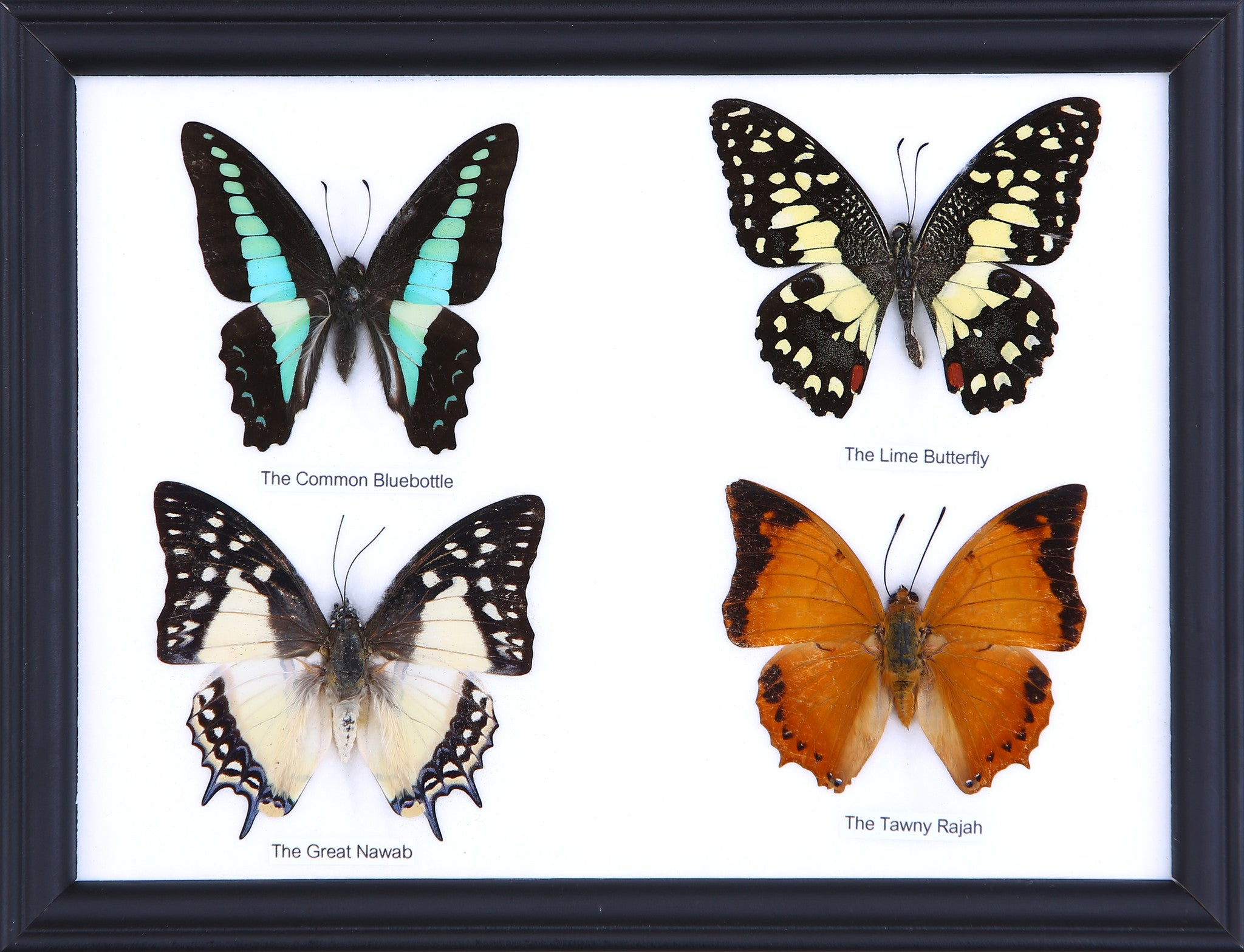 Four Taxidermy Butterflies - Real Butterfly Framed Wide – Natural ...
