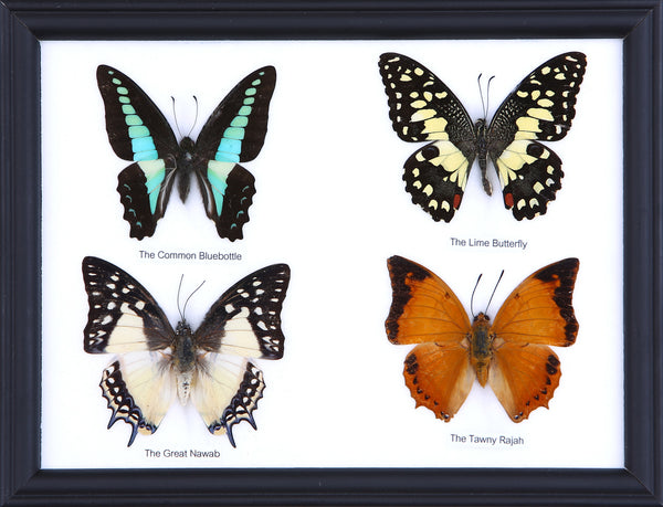 Four Taxidermy Butterflies - Real Butterfly Framed Wide - Natural History Direct Online Shop - 1