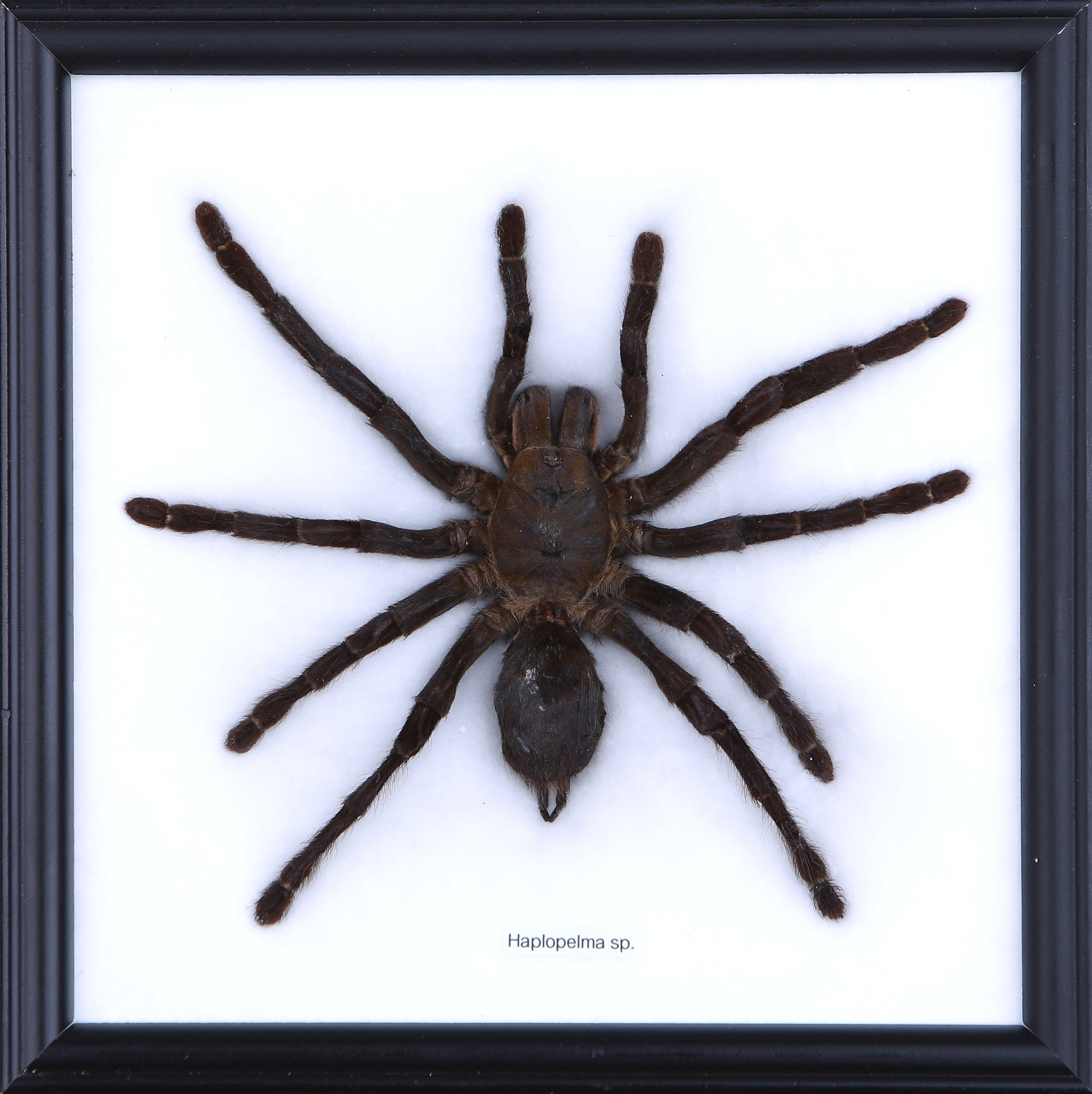 Buy Real Framed Insect Displays | Insect Collections | Wood Frame ...