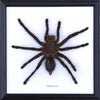 Malaysian Bird-Eating Tarantula Framed, Real Spider - Natural History Direct Online Shop