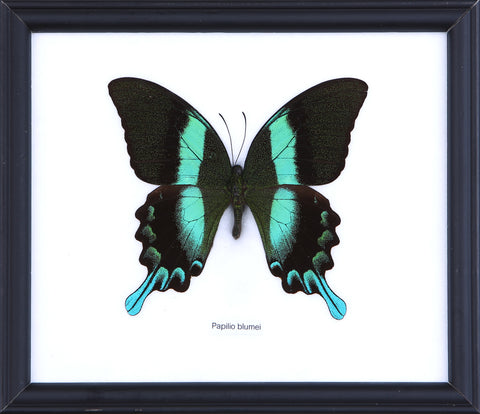 The Green Swallowtail Butterfly - Real Butterfly Framed - Natural History Direct Online Shop
