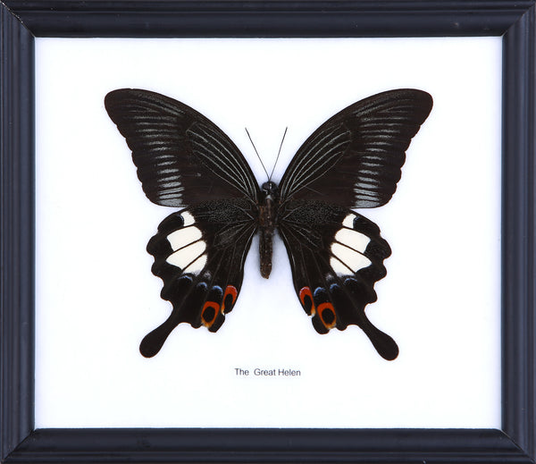 The Great Helen Butterfly - Real Butterfly Framed - Natural History Direct Online Shop