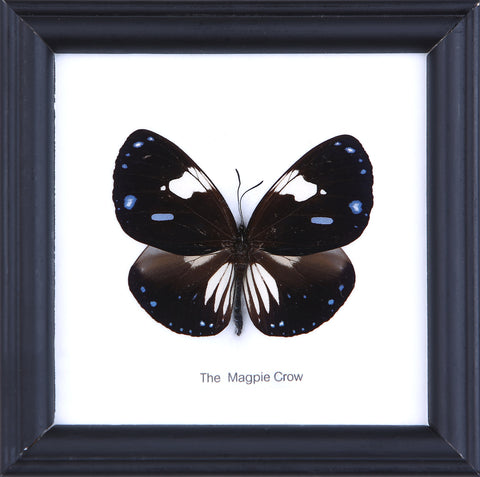 The Magpie Crow - Real Butterfly Framed - Natural History Direct Online Shop