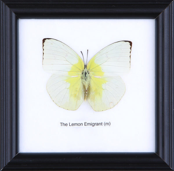 The Lemon Emigrant - Real Butterfly Framed - Natural History Direct Online Shop - 1