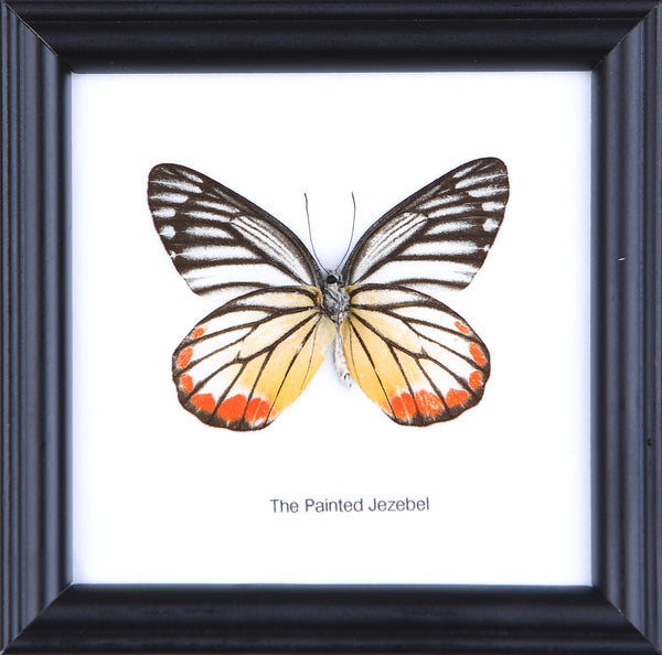 The Painted Jezebel - Real Butterfly Framed - Natural History Direct Online Shop