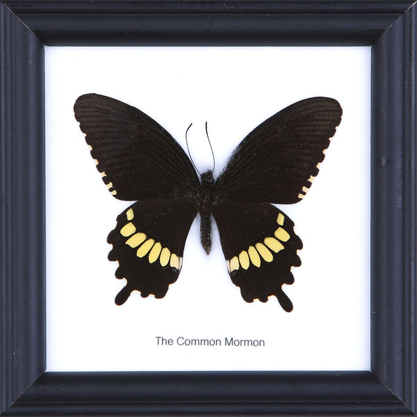 The Common Mormon - Real Butterfly Framed - Natural History Direct Online Shop