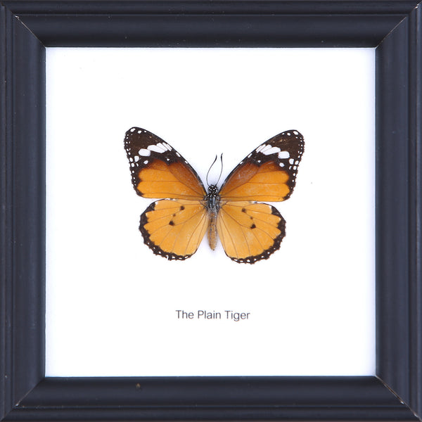 The Plain Tiger - Real Butterfly Framed - Natural History Direct Online Shop