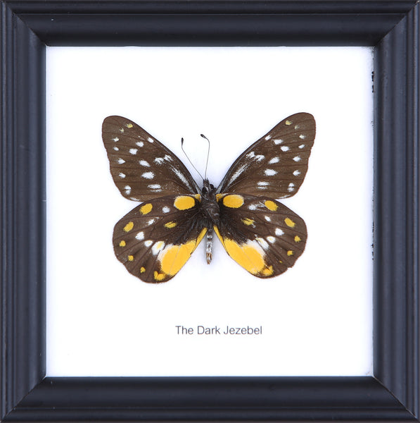 The Dark Jezebel - Real Butterfly Framed - Natural History Direct Online Shop