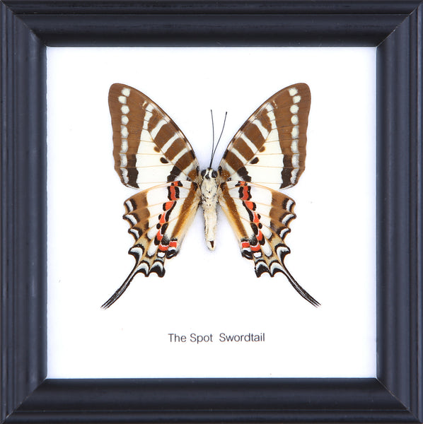 The Spot Swordtail - Real Butterfly Framed - Natural History Direct Online Shop