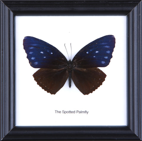The Spotted Palmfly - Real Butterfly Framed - Natural History Direct Online Shop