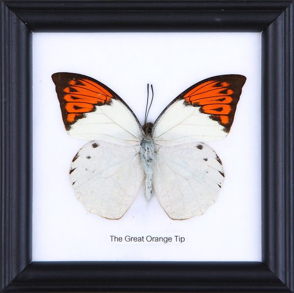 The Great Orange Tip - Real Butterfly Framed - Natural History Direct Online Shop