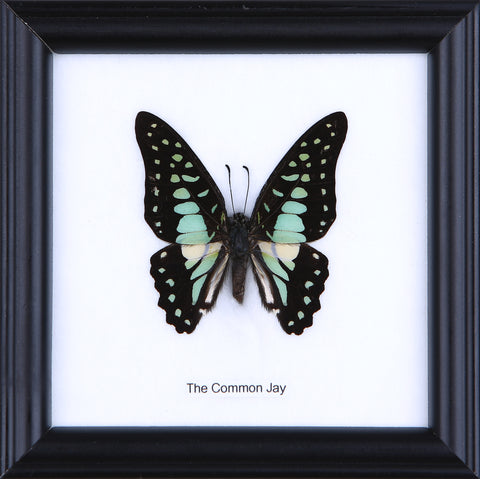 The Common Jay - Real Butterfly Framed - Natural History Direct Online Shop