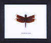 Dragonfly - Real Insect Framed - Natural History Direct Online Shop - 4